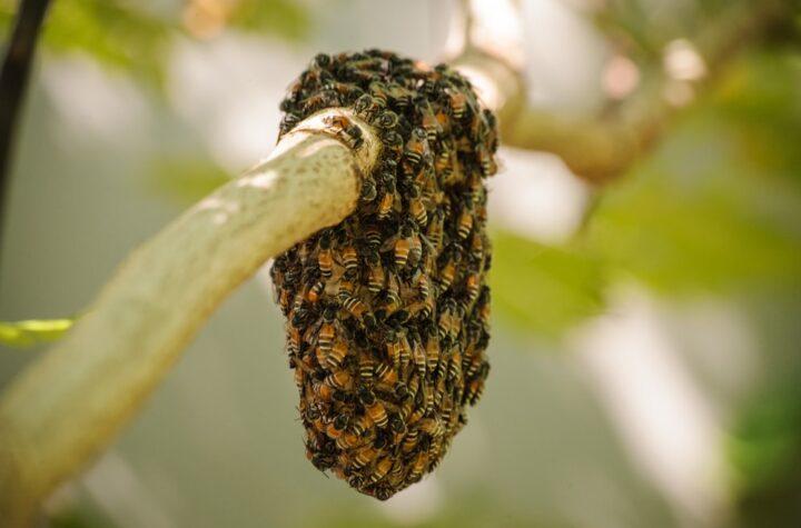 African Honey Bee