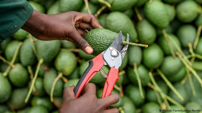 The Green Gold Sweeping Sub-Saharan Africa